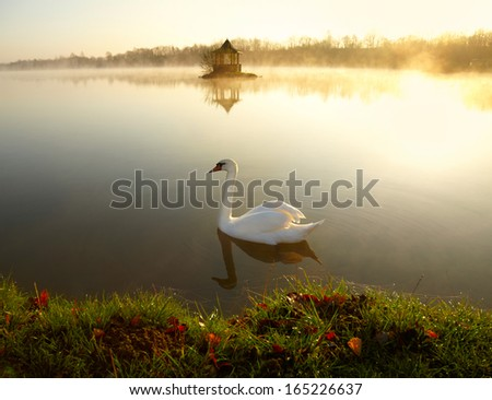 White swan on the lake at sunrise  - stock photo