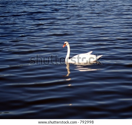 White Swan on the Lake in Hyde Park, England. - stock photo