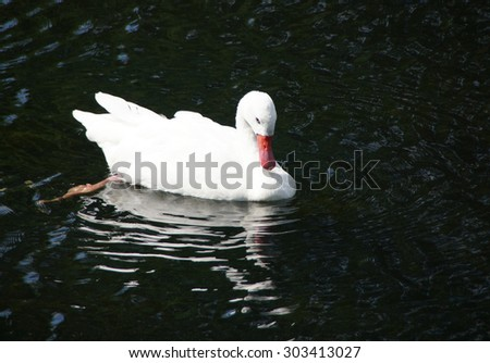 White swan swimming in the water. Close up.                                - stock photo