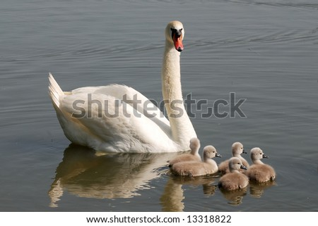 White swan with chicks - stock photo