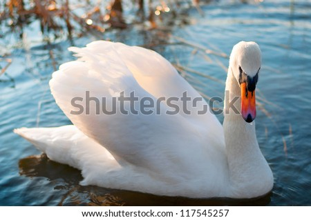 White swan with reflections on a clear blue lake - stock photo