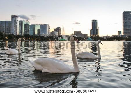 White Swans swimming in Lake - stock photo
