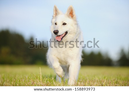 White Swiss Shepherd Dog  - stock photo