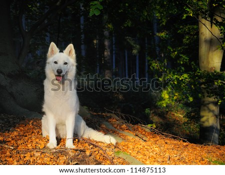 White Swiss Shepherd Dog in the evening in autumn in the wood - stock photo