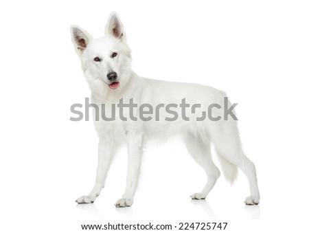 White Swiss Shepherd dog on white background - stock photo