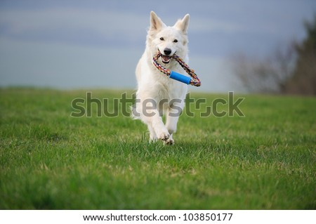 White Swiss Shepherd fetch toy - stock photo