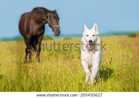 White swiss shepherd running on the pasture with horse on the background - stock photo