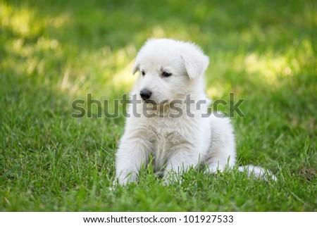 White Swiss Shepherd`s puppy - stock photo