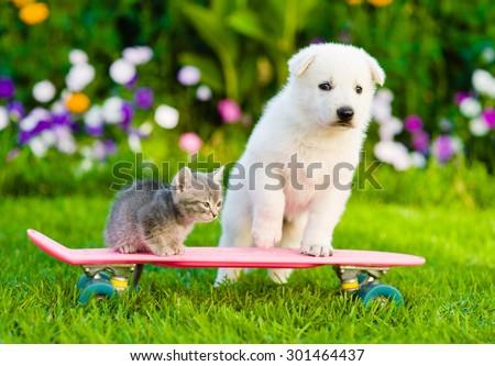 White Swiss Shepherd`s puppy and tabby kitten on skate - stock photo