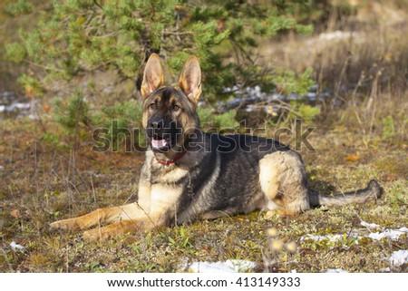 White Swiss Shepherd`s puppy running on grass - stock photo