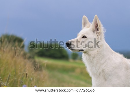 White Swiss Shepherd stands in meadow and observes tensely the surroundings Weisser Schweizer Schäferhund  Berger Blanc Suisse - stock photo