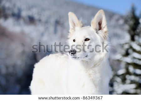 White Swiss Shepherd with snow on the snout - stock photo