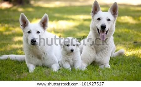 White Swiss Shepherds - stock photo