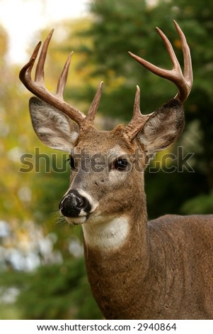 White Tail Deer Buck - stock photo