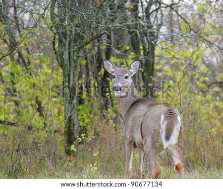 White Tail Deer doe on alert - stock photo