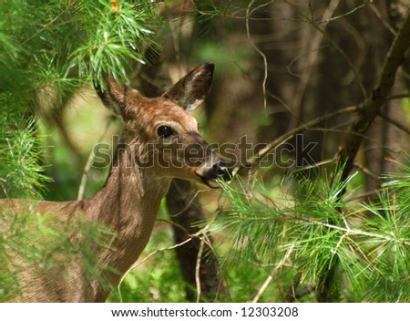 White tail deer in Smoky Mountain National park - stock photo