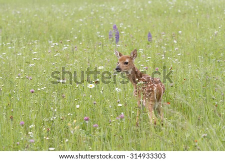 White tail Fawn in Wildflowers - stock photo