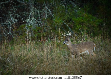 White-tailed buck in Cade's Cove, Great Smoky Mountains. - stock photo