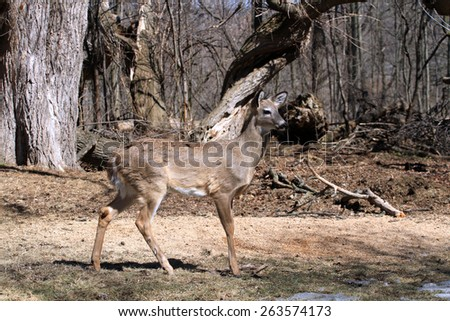White-tailed Deer - stock photo