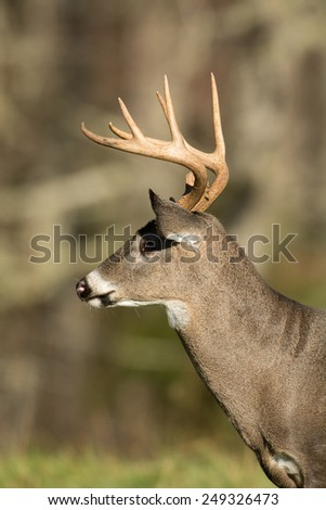 White-tailed deer buck standing in an open meadow in Smoky Mountain National Park, Tennessee - stock photo