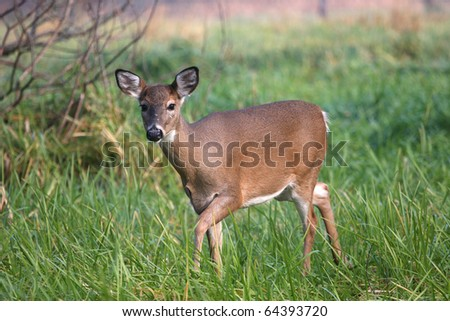 White-tailed Deer Doe - stock photo