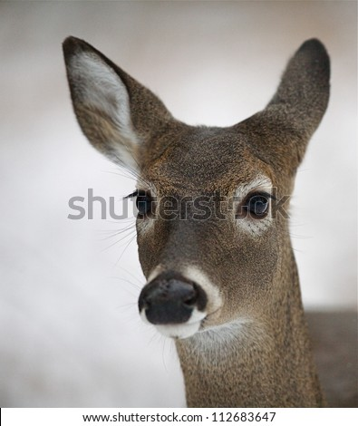 White tailed deer doe, detailed portrait isolated on white snow background, Smoky Mountains National Park, Tennessee; whitetail / white-tail / white tail / whitetailed / white-tailed - stock photo