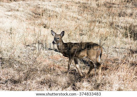 White-tailed deer eating dry grass in the   Palo Duro Canyon State Park, Texas, USA - stock photo