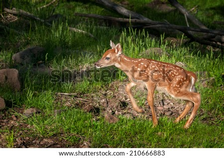 White-Tailed Deer Fawn (Odocoileus virginianus) Moves Left - captive animal - stock photo