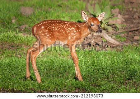 White-Tailed Deer Fawn (Odocoileus virginianus) Stands - captive animal - stock photo