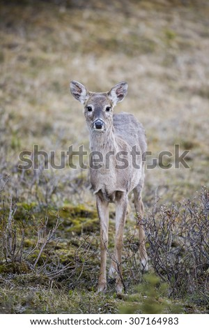 White-tailed deer in a mountain forest in spring - stock photo