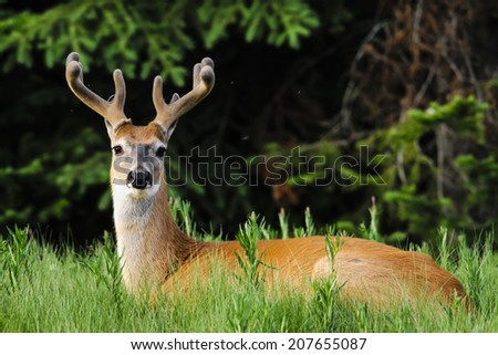 White-tailed deer in Summer, Kananaskis Country  Alberta Canada - stock photo