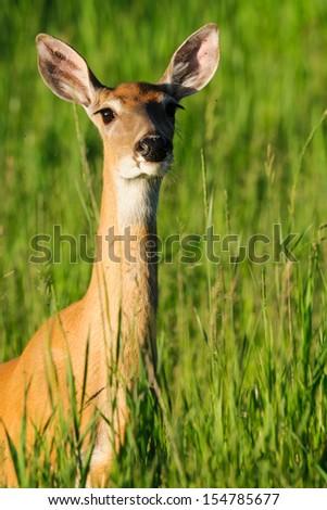 White-tailed deer in tall summer grass, Kananaskis Country Alberta Canada - stock photo