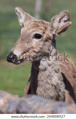 White Tailed Deer in the Wild lloks at camera. - stock photo