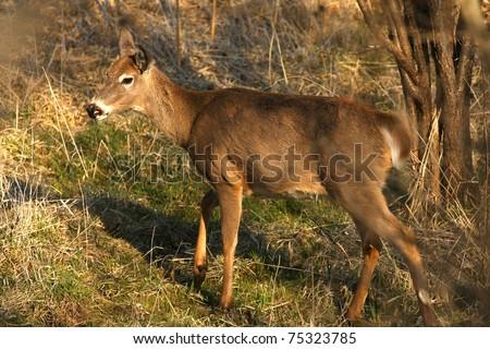 White-tailed Deer Odocoileus virginianus - stock photo