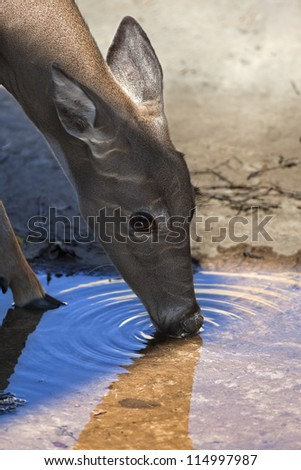 White tailed deer (Odocoileus virginianus) drinking from a small pool of water. - stock photo