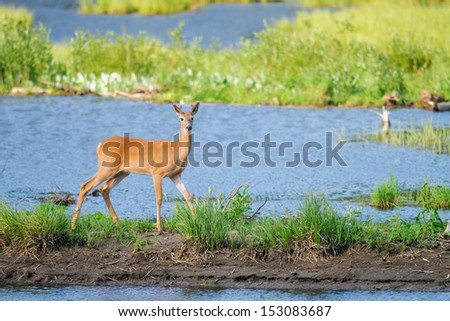 White-tailed deer on the shores of a mountain pond, Alberta Canada - stock photo