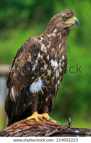 White-tailed eagle close up - stock photo