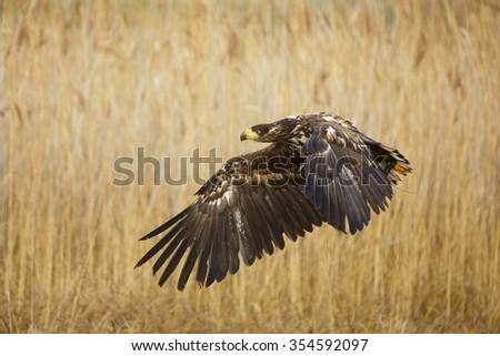 White-tailed eagle flying around us - stock photo