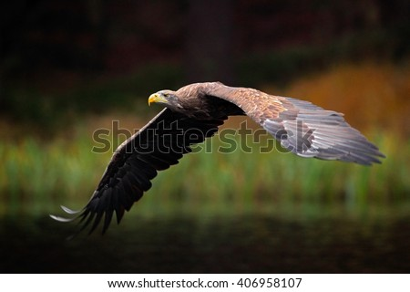 White-tailed Eagle, Haliaeetus albicilla, flight above the water lake, bird of prey with forest in background, animal in the nature habitat, wildlife, Norway - stock photo