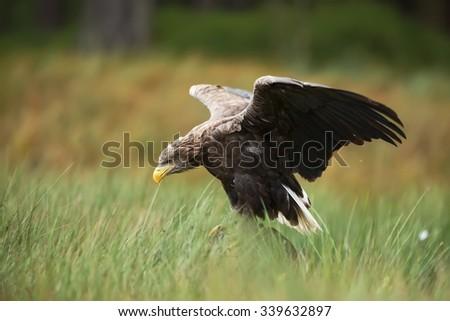 White-tailed eagle landing to water - stock photo