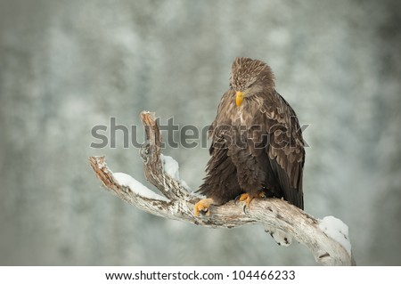 White tailed Eagle. Perching on a dead tree limb in winter. This image has negative space for text. - stock photo