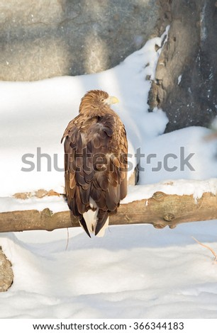 White-tailed eagle White-tailed eagle â?? a bird of prey of the hawk family. Brown with a lighter ventral side and head, white tail and yellow beak. - stock photo