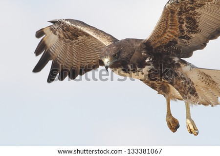White-tailed Hawk (Buteo albicaudatus) in Flight - Texas - stock photo