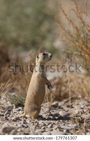 White-tailed Prairie Dog, Cynomys leucurus - stock photo
