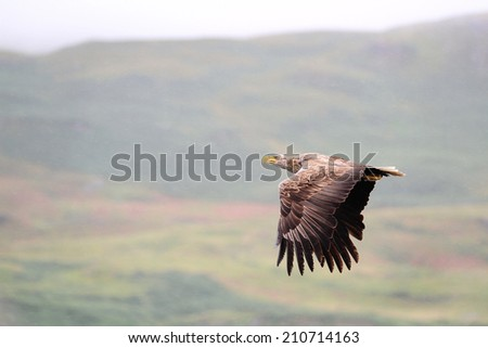 White-tailed Sea Eagle (Haliaeetus albicilla) in flight in the rain, with mountains and skyline in the back ground - stock photo