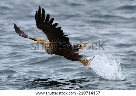 White-tailed Sea Eagle (Haliaeetus albicilla) in flight, lifting of the sea after just taking a fish.  - stock photo