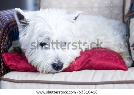 White terrier lying on a red cushion in a wicker chair - stock photo