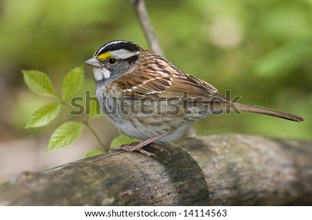 White throated sparrow - stock photo