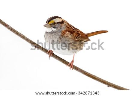 White-throated Sparrow (zonotrichia albicollis) perched on a branch on white - stock photo