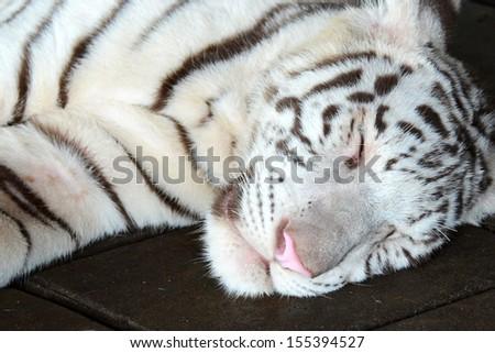 white tiger are sleeping - stock photo